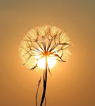 dandelionglow